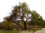 Fontana East willow
