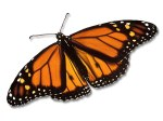 monarch butterfly photo (2)