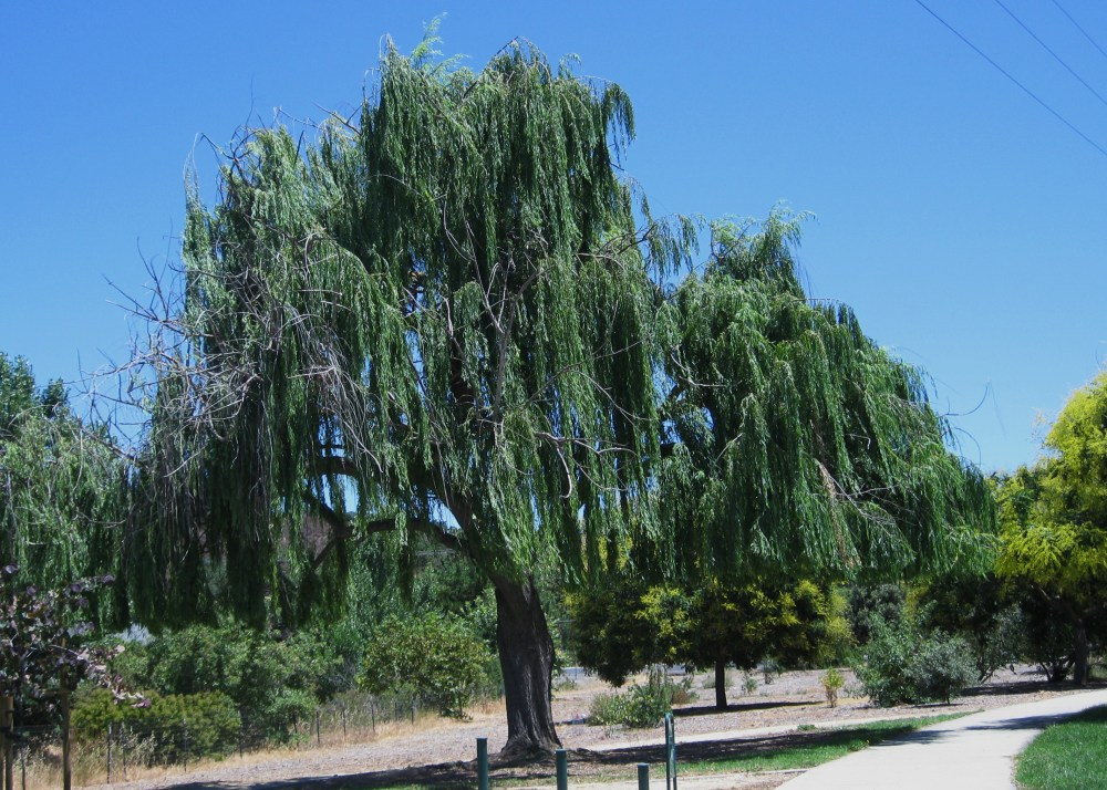Weep for our Willow Tree (1/4)