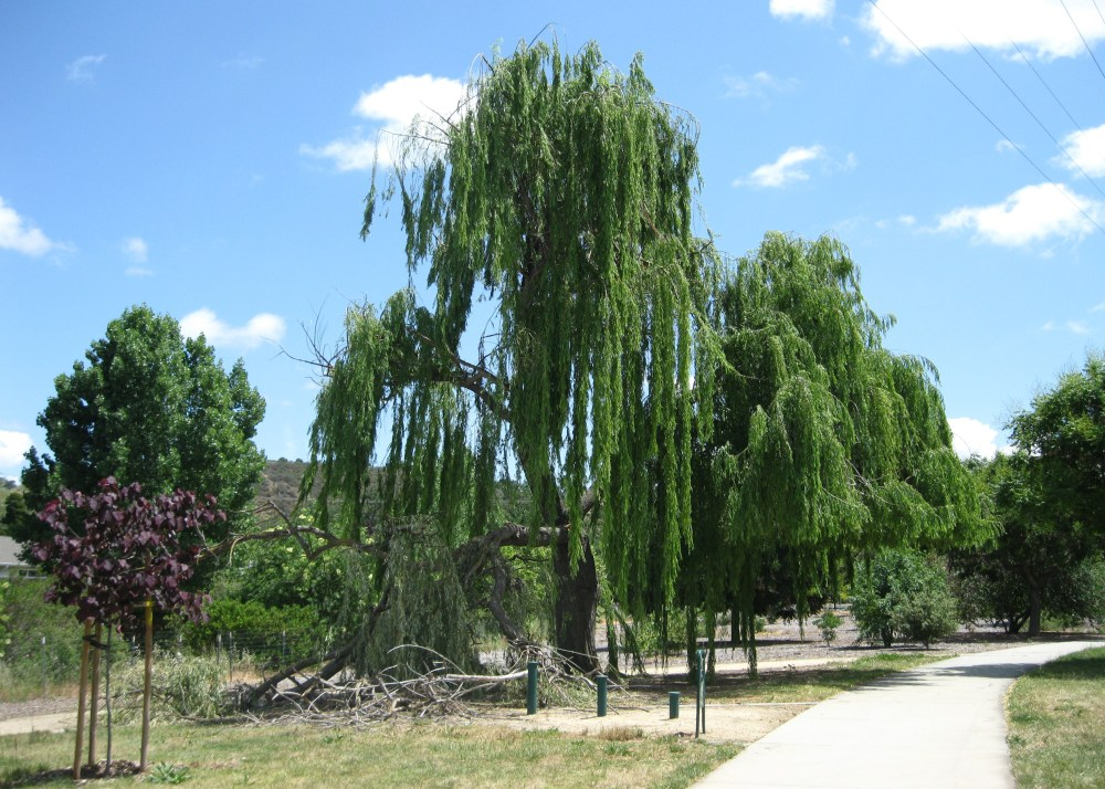 Weep for our Willow Tree (3/4)