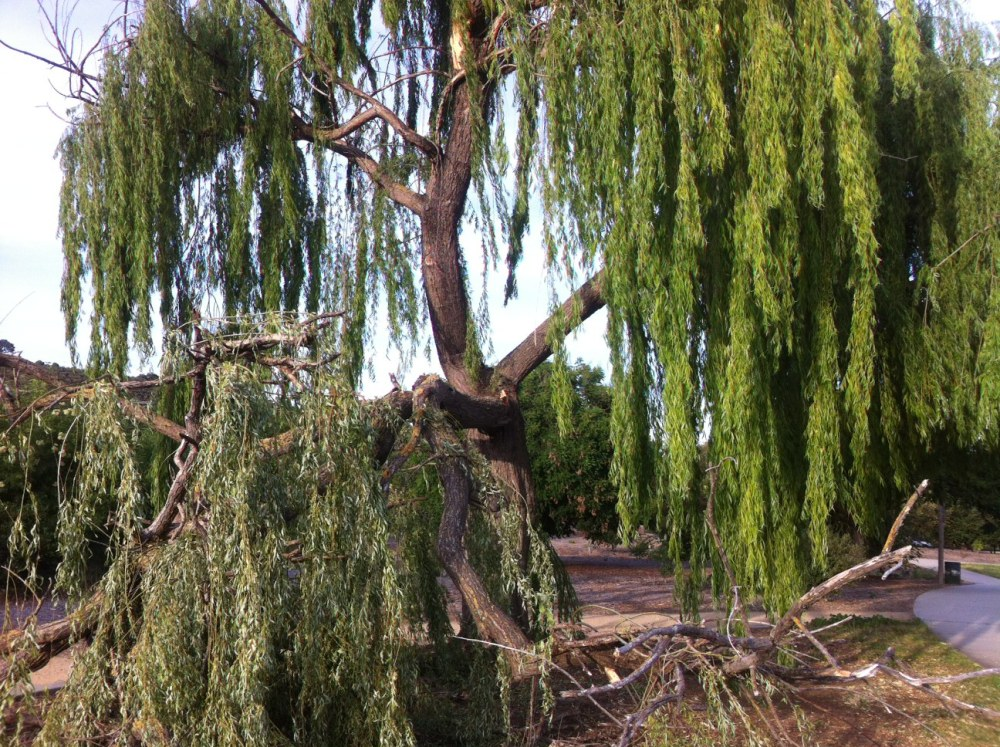 Weep for our Willow Tree (4/4)