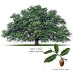 oak_live