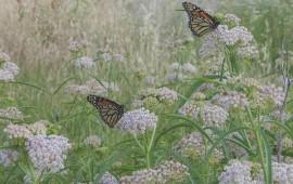 narrowleaf-milkweed-v2-600x398