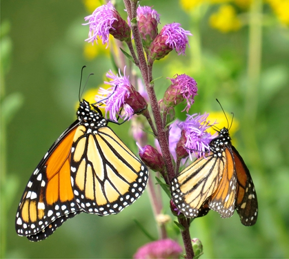 Monarch butterflies on a blazing star by Al Batt.
