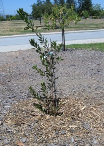Replacement Toyon tree