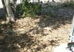 after SAM_1358-Tree#8-Volunteer Oaks