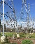 Pistache trees neartower