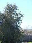 before SAM_1353-Tree#5-Coast LiveOak