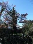 before SAM_1354-Tree#12-Dead PineTree