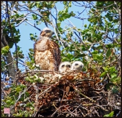 Red- Shouldered Hawk with two hatchlings